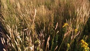 Ecologische grasberm in gemeente Ede foto: De Klik