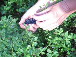 Bosbessen plukken Foto: De Klik BiomassaDHZ